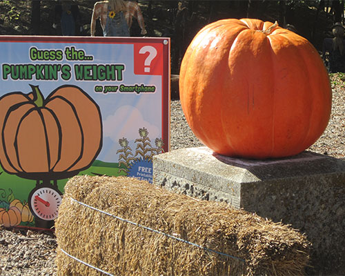 Carroll plants tons of pumpkins in our pumpkin patch at Walter's Pick Your Own Pumpkin Patch and Corn Maze in Burns, Kansas, just east of El Dorado and  Wichita, each year!