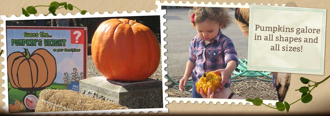Pick-your-pumpkins from our giant pumpkin patch this fall season at Walter's Pumpkin Farm!